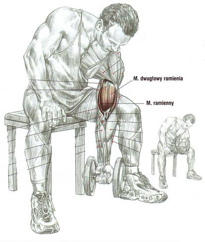 Zginanie przedramion (biceps) ze sztangielkami – łokieć wsparty na udzie