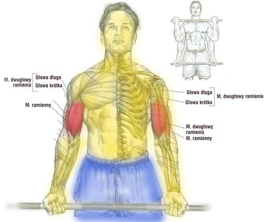 Trening przedramion (biceps) sztangą trzymaną podchwytem