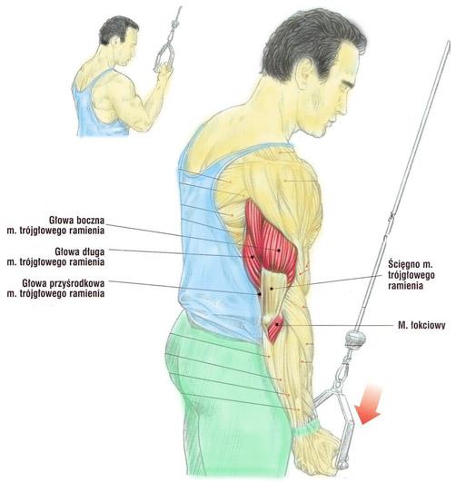 Prostowanie przedramion na wyciągu górnym (triceps – podchwytem)