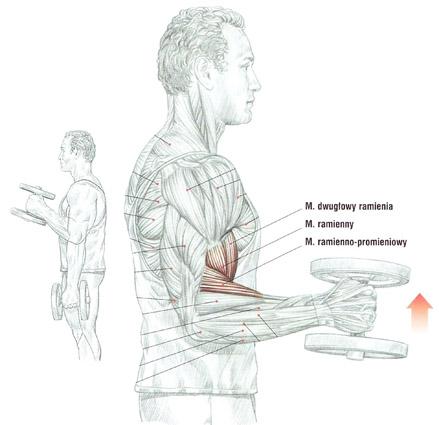 Trening przedramion (biceps) sztangielkami trzymanymi neutralnie