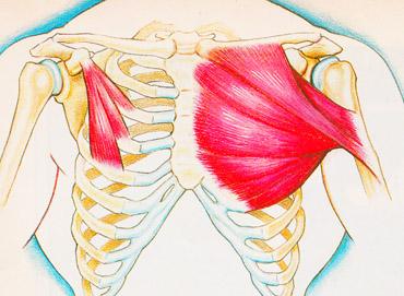 Anatomia mięśni klatki piersiowej