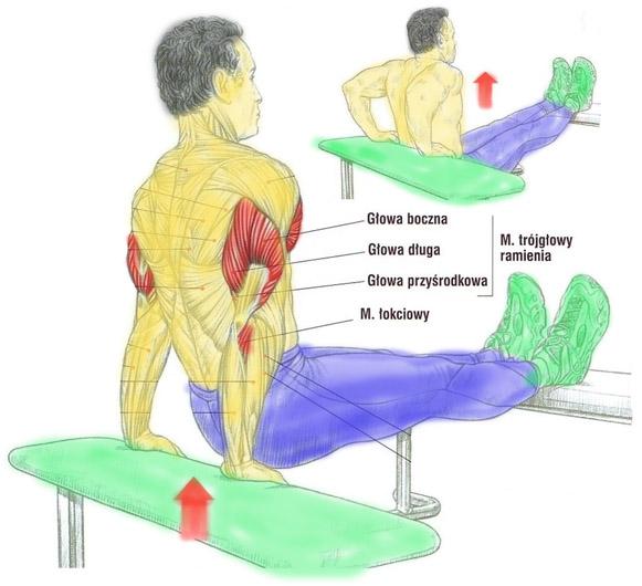 Trening tricepsa w podporze tyłem na ławeczkach