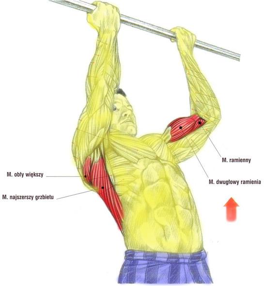 Plecy, grzbiet – podciąganie na drążku podchwytem